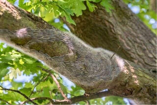 oak-tree-caterpillars