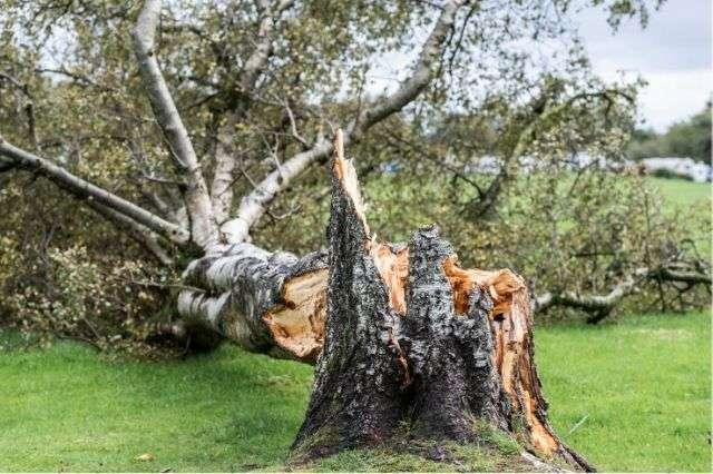 storm-damaged-tree-no-bracing